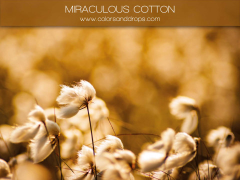 MIRACULOUS - COTTON